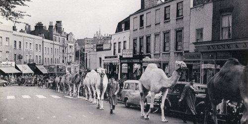 blackheath_camels.jpg