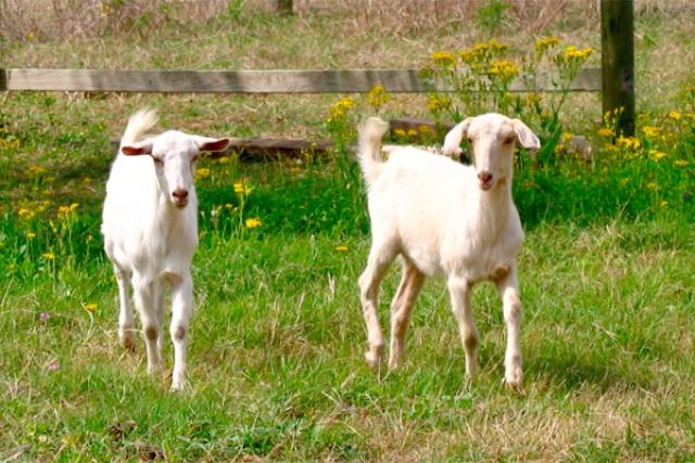 rent a goat