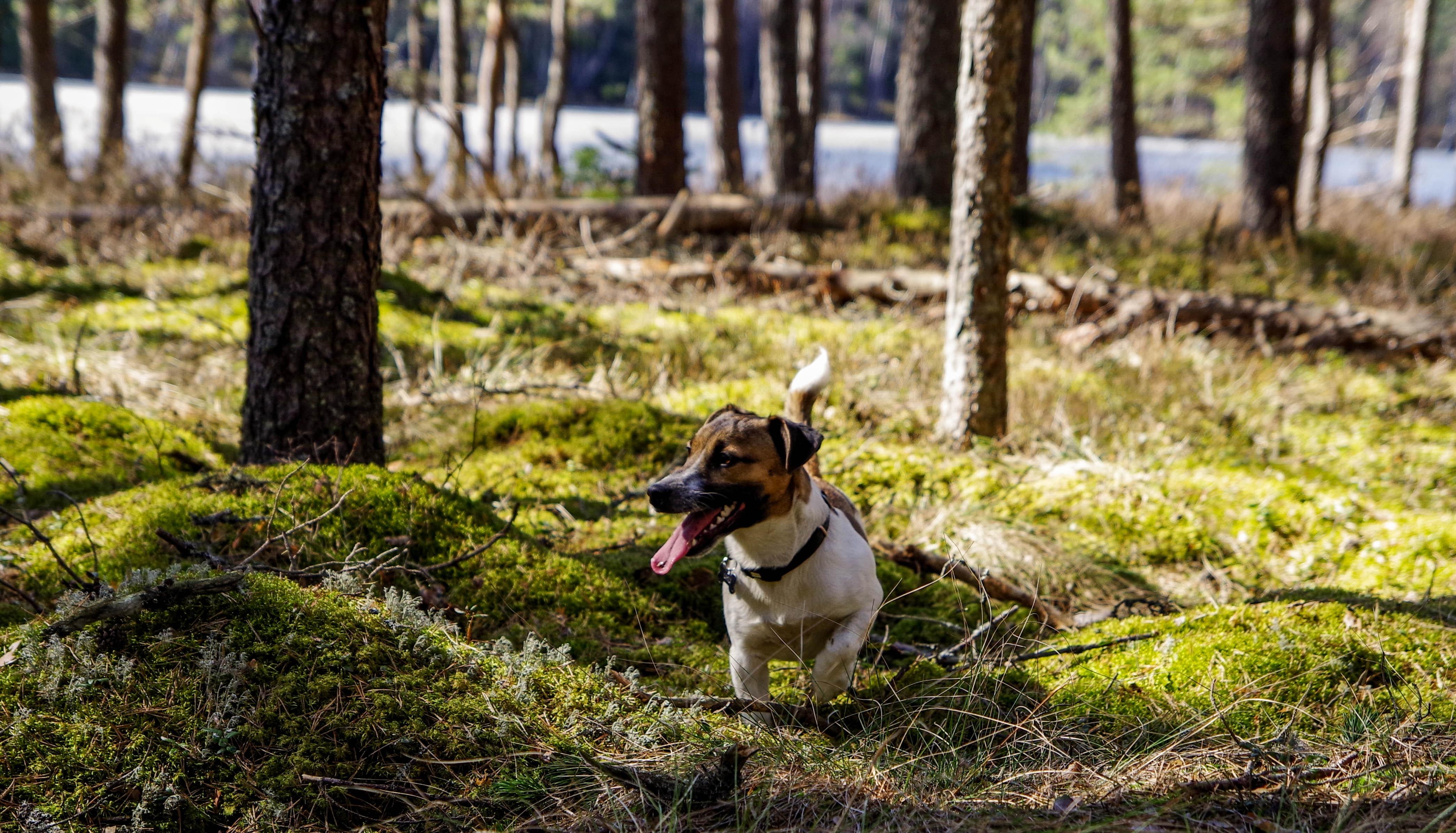 jack russel running through forest